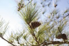 Pine cone on a tree Stock Photos