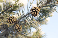 Pine Cone in Tree. With snow Stock Images