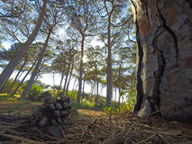 Pine cone by a trunk. Seen from the ground Stock Image