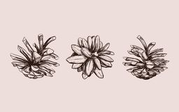Pine Cone . Vector Hand Drawn Illustration. Isolated Objects. Christmas Cones Set In Sketch Style Royalty Free Stock Image