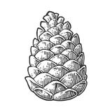 Pine cone. Vector vintage black engraving illustration. Pine cone. Isolated on white background. Vector vintage black engraving illustration Stock Photography