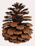 Pine cone on the white background Stock Images