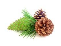 Pine cone on white Royalty Free Stock Photos