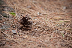 Pine cone in the wilderness Royalty Free Stock Image