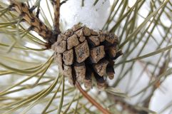 Pine cone in the winter forest. Pine cone in the winter cold forest stock photo