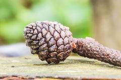 Pine cone on wooden table Royalty Free Stock Photos