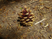 Pine cone on woodland floor. Pine cone, North Downs Way, England. Walking trip. Christmas pine cone Stock Photography