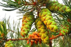 Pine cones. Bunch of young pine cones hanging in a pine tree in Portland, Oregon stock photography