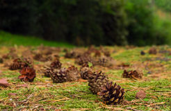 Pine Cones. Stock Photography
