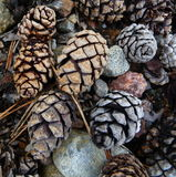 Pine Cones. Pines cones from Calendonian Pine Trees in the Cairngorms, Scotland Royalty Free Stock Images