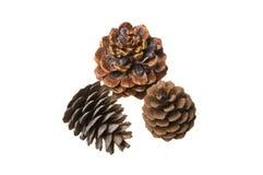 Free Pine Cones Stock Photo - 11604340