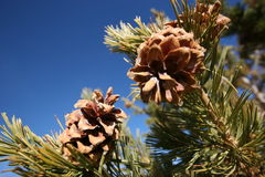 Pine cones. On branch with blue sky background Royalty Free Stock Photography
