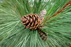 Pine cones. And pine needles Stock Images