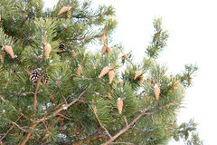 Pine with cones. Stock Photos