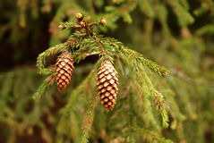 Pine cones. Macro image of evergreen branch with tiny pine cones Stock Image