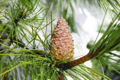 Pine cones. Stock Image