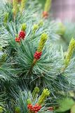 Pine with Cones Stock Image