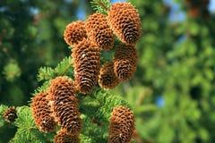 Pine Cones Stock Photography