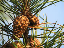 Pine cones. Pine twig with cones, details of needles and cones Stock Photography