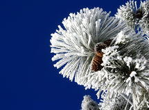 Pine Cones 2. Pine cones covered in hoar frost Stock Photo