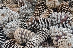 Pine Cones. A collection of pine cones in assorted shapes and colors Royalty Free Stock Photo