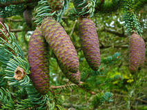 Pine Cones Royalty Free Stock Photos
