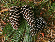 Pine Cones. On forest floor Stock Image