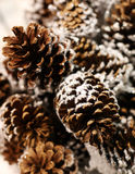 Pine cones. In snow on a tree of fur-tree Stock Photos