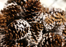 Pine cones. In snow on a tree of fur-tree Royalty Free Stock Images