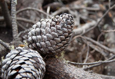 Free Pine Cones Royalty Free Stock Photography - 39153747