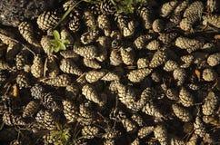Pine cones. On the ground Stock Photo