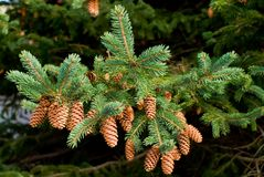 Pine Cones. Branch of Pine tree with cones Stock Photo