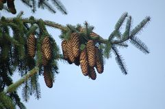 Pine cones. On a branch stock image
