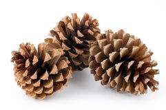 Free Pine Cones Royalty Free Stock Photography - 7250447