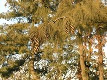 Pine cones. Pine trees royalty free stock image