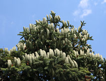 Pine Cones. Large pine cones high up in a tree Stock Images