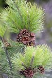 Pine Cones 2 Royalty Free Stock Photography
