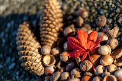 Pine cones, acorns and maple leaf Royalty Free Stock Photo