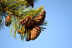 Pine cones against blue sky. Pine cones on tree against clear blue sky Stock Photography