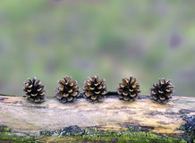 Pine cones arranged on a branch. Five pine cones arranged in a row on a branch, still life in forest, natural simple winter autumn christmas decoration, blurred Stock Photo