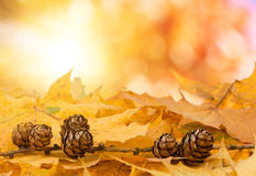 Pine cones background with boked. Pine cones and and maple leaves with real natural bokeh Stock Photography