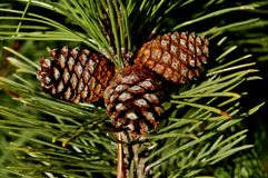 Pine Cones. Beautiful Pine Cones in a tree in autumn season Stock Photo