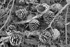 Pine Cones in Black and White. On forest floor Royalty Free Stock Photos