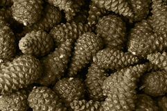 Pnie cones black and white  Stock Images