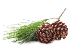 Pine cones with branch Royalty Free Stock Photography