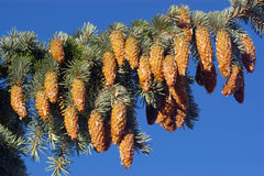Pine cones on branch. A cluster of pine cones on a tree branch Stock Photo
