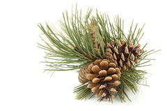 Pine Cones. Pine branch with pine cones Royalty Free Stock Photo