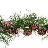 Pine cones on branch of conifer tree Stock Image
