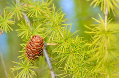 Pine cones on branch Stock Photos