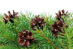 Pine cones with branch isolated on a white Stock Photos
